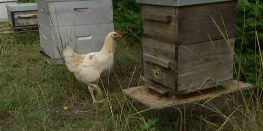 La poule pour lutter contre le frelon asiatique